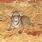 Polskie tygrysy w Australii
