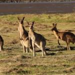 Ile kosztuje wiza do Australii. Cena?