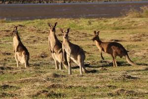ile-kosztuje-wiza-do-australii-kangury